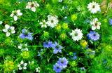5.25----ニゲラの花