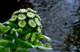 08----フキノトウの花