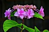 6.11----アジサイの花3