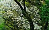 21---田原の山桜