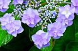 6.14----アジサイの花.5
