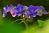 6.07----アジサイの花2