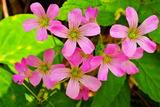 6.09----カタバミの花