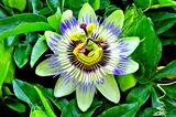 6.15----トケイソウの花