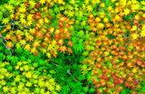 04----俯瞰で見たモミジ葉