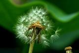 6.06----蓮園のタンポポの種
