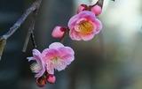 27---しだれ梅の花