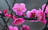 20---畑に咲く紅梅