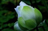 07----放生池の蓮の蕾