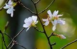 11.15----十月桜の花