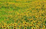 05----ヒマワリの花