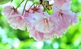 23---桜の花