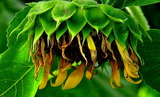 22----枯れたヒマワリの花