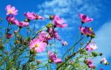 04----コスモスの花