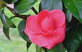 21----椿の花1