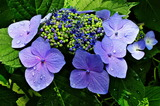 6.14----アジサイの花.1