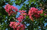 08----百日紅の花