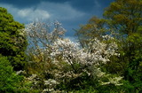 24---山桜の花