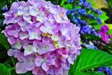 6.15----アジサイの花4
