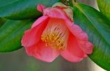 12----椿の花