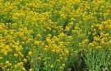 13---菜の花