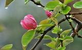 17---花梨の蕾