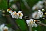19---白梅の花