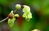 07----土佐ミズキの花