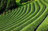 13---茶畑
