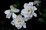 6.18----クチナシの花