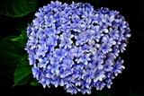 6.15----アジサイの花1