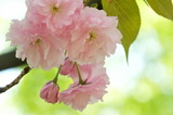 16---八重桜