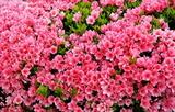24---ツツジの花