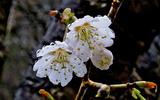 19----桜の花