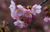 11----淀の桜