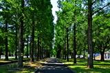 6.10----鶴見緑地メタセコイアの並木道