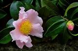 11.09----さざんかの花