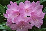 21---シャクナゲの花2