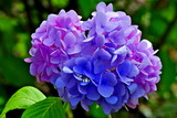 6.11----アジサイの花1