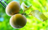 03----柿の実