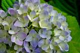 5.30----紫陽花2