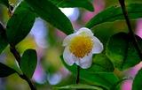 11.07----茶の花