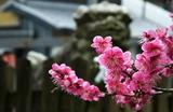 01---県神社の紅梅