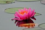 6.05----スイレンの花1ピンク