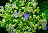 5.27----アジサイの花4