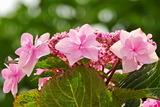 6.07----アジサイの花4