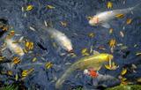 11.07----鯉と地理落ち葉