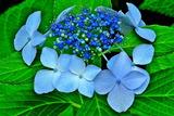 6.08----アジサイの花3