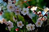 12----梅の花