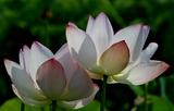 11----蓮の花